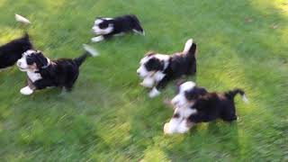 Lilly's Mini Bernedoodles