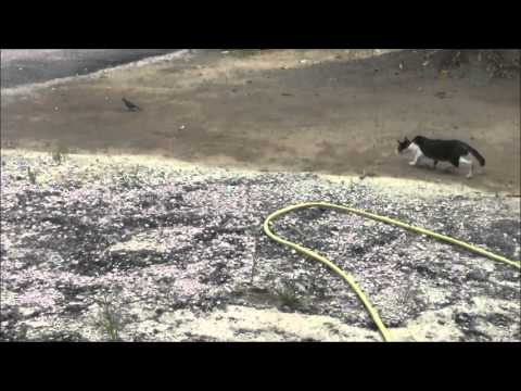 Kucing Nak Tangkap Burung Merbok (Ahad 18 10 2015)