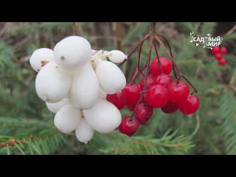 """Неприхотливые растения для сада Снежноягодник. Сайт """"Садовый мир"""""""