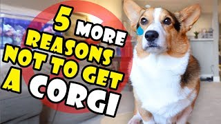 5 More Reasons Why You Should NOT Get a Corgi Puppy || Extra After College