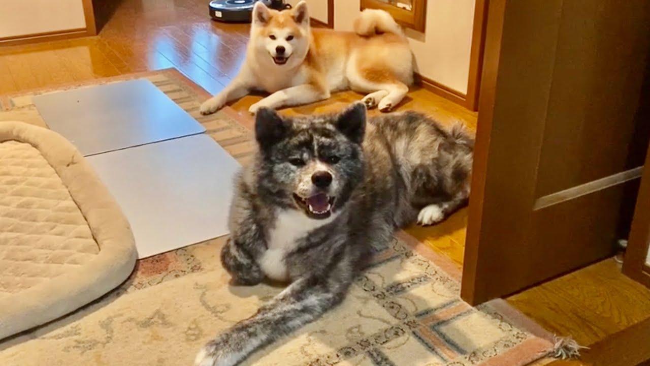だから妹とは遊びたくない秋田犬ぱたこ【Akita-inu】So a dog that she doesn't want to play with her sister