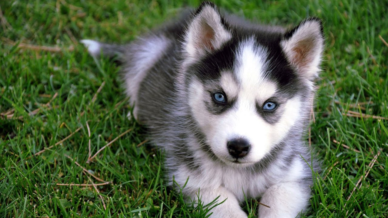 Husky puppy attacks tiger toy youtube - Pictures of siberian huskies ...