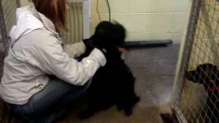 Gigsy - Springer Spaniel Cross Labrador Avaliable For Adoption
