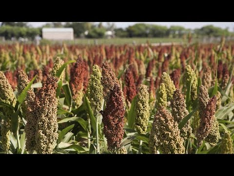 What Is Sorghum – Information About Sorghum Plants