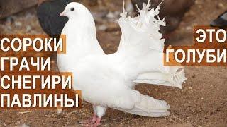 Голуби: Снегири, грачи, сорока, павлин и другие в птичьем парке Сергея Абрамова.