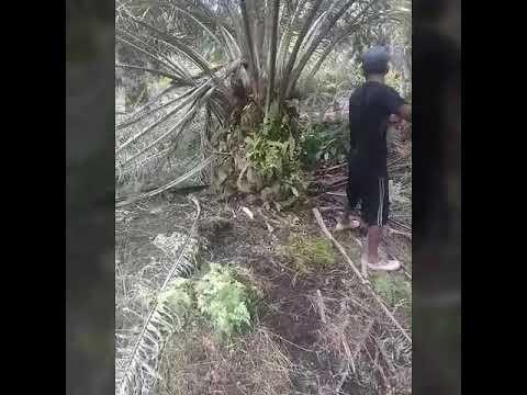 bginilah nasib jadi anak Rantau di malaysia Sarawak