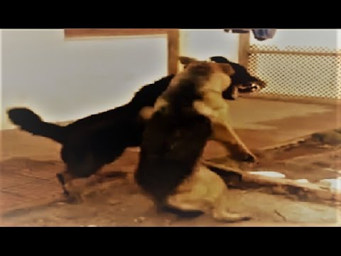 Rottweiler, German Shepherd & Pitbull fight over dominance!!!