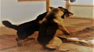 Rottweiler, German Shepherd & Pitbull fight over dominance!!!