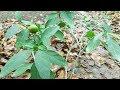 Solanum Pseudocapsicum - Growing a fruit