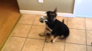 German Shepherd Puppy Howling