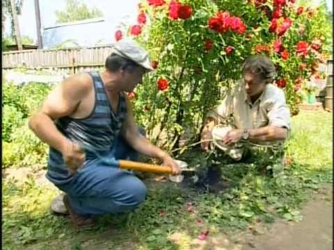 Отводок плетистой розы