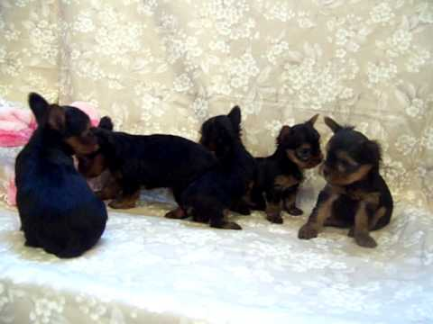 Worlds Smallest Yorkshire Terriers