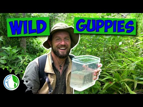 WILD GUPPIES FOR  FISH TANK / AQUARIUM HOBBY
