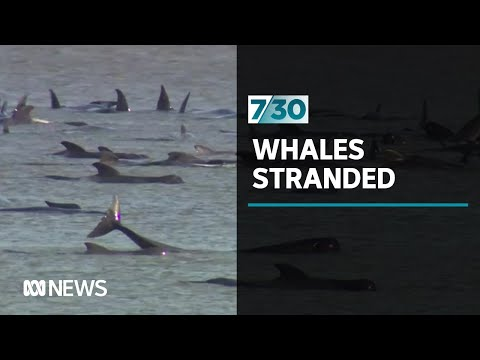 Hundreds Of Whales Stranded In Tasmania | 7.30