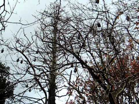 BATS in a tree @ the Botanical Gardens, Sydney Australia 6-2