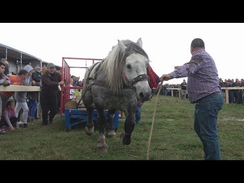Concurs cu cai de tractiune - Sectiunea simplu - Baia Mare, Maramures 7 oct 2017