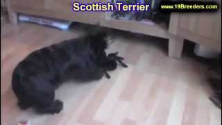 Scottish Terrier, Puppies, For, Sale, In, Badger, County, Alaska, Ak, Kink Fairview, College