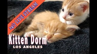 Kitten Dorm Cam - Live from Los Angeles