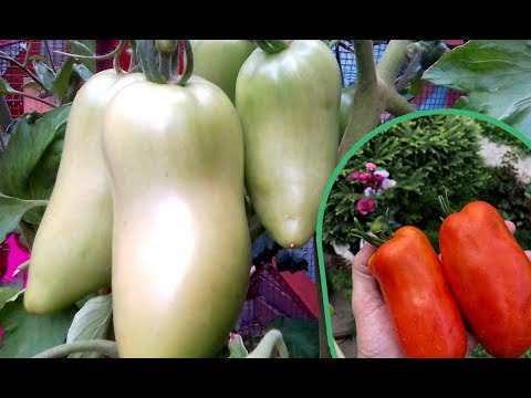 """Если уж садить гибрид, то """"Карнабель"""" ! Урожай и крупные плоды даже в ведре"""