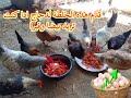 الخلطة المجانية التي سوف تجعل دجاجك يبيض بغزارة