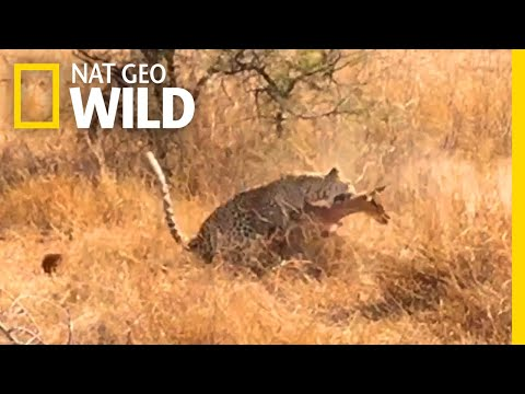 Can You Spot This Leopard Before Its Prey Does?   Nat Geo Wild