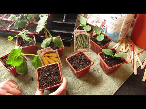 how-and-when-to-seed-start-zucchini-squash-indoors:-warm-weather---the-rusted-garden-2014