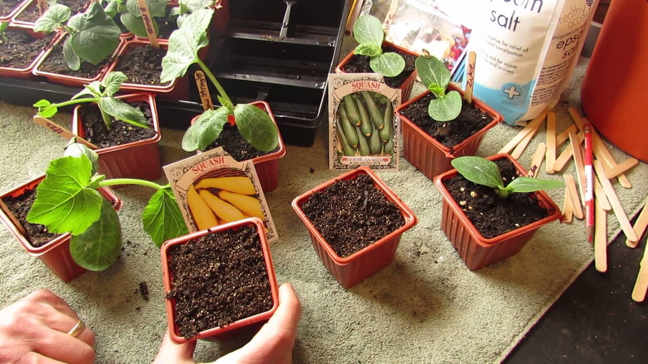 How and When to Seed Start Zucchini & Squash Indoors: Warm Weather ...