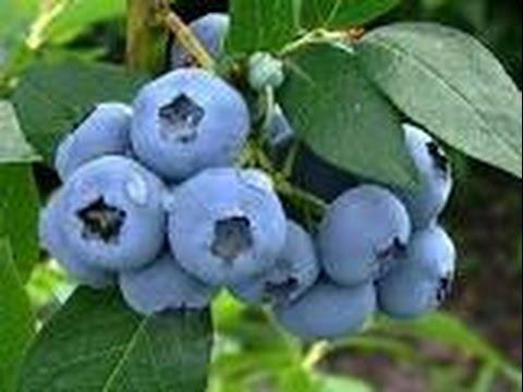 Голубика в течение 3х лет не цветет, не растет, но на вид