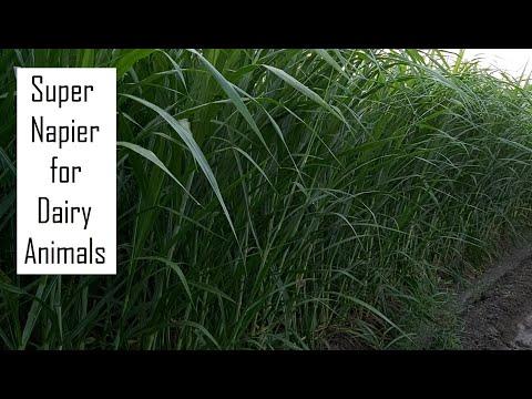 Super Napier after 60 days of Planting in Tamil Nadu @ 9790987145 / Green fodder for Dairy Farming