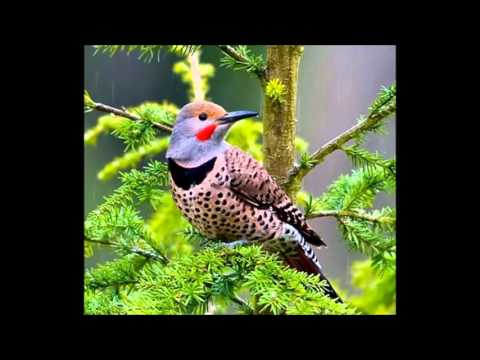 Northern Flicker calls