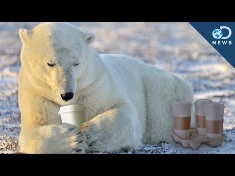 Why Polar Bears Don't Hibernate
