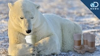 Why Polar Bears Don t Hibernate