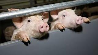 Свиноферма Pigfarm