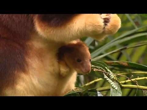 Watch Adorable Tree Kangaroo Joey Emerge From Mom's Pouch for First Time