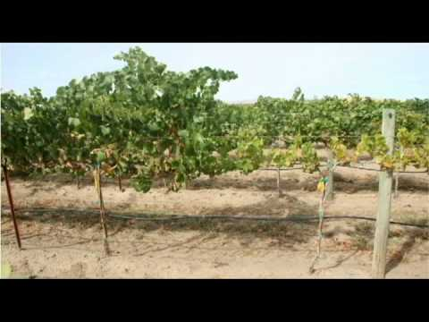 How Grapevine Virus Diseases Spread: 4 propagation methods