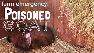 Caring for a Poisoned Goat - Rhododendron or Mountain Laurel toxicity