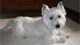 """Westy Terrier. Perro Grande Dentro De Cuerpo Pequeño. """" Neo """""""