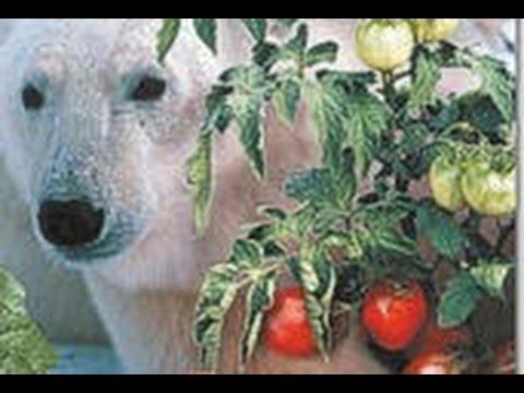 Холодостойкие сорта томатов, правда ли это?
