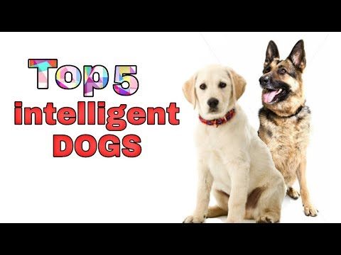 Top 5 Most Intelligent dog breeds