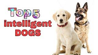 Top 5 Most Intelligent dog breeds in the world