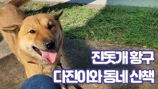 진돗개 황구 다진이와 동네 산책, Korean Jind…