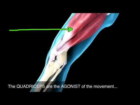 How muscles produce knee extension