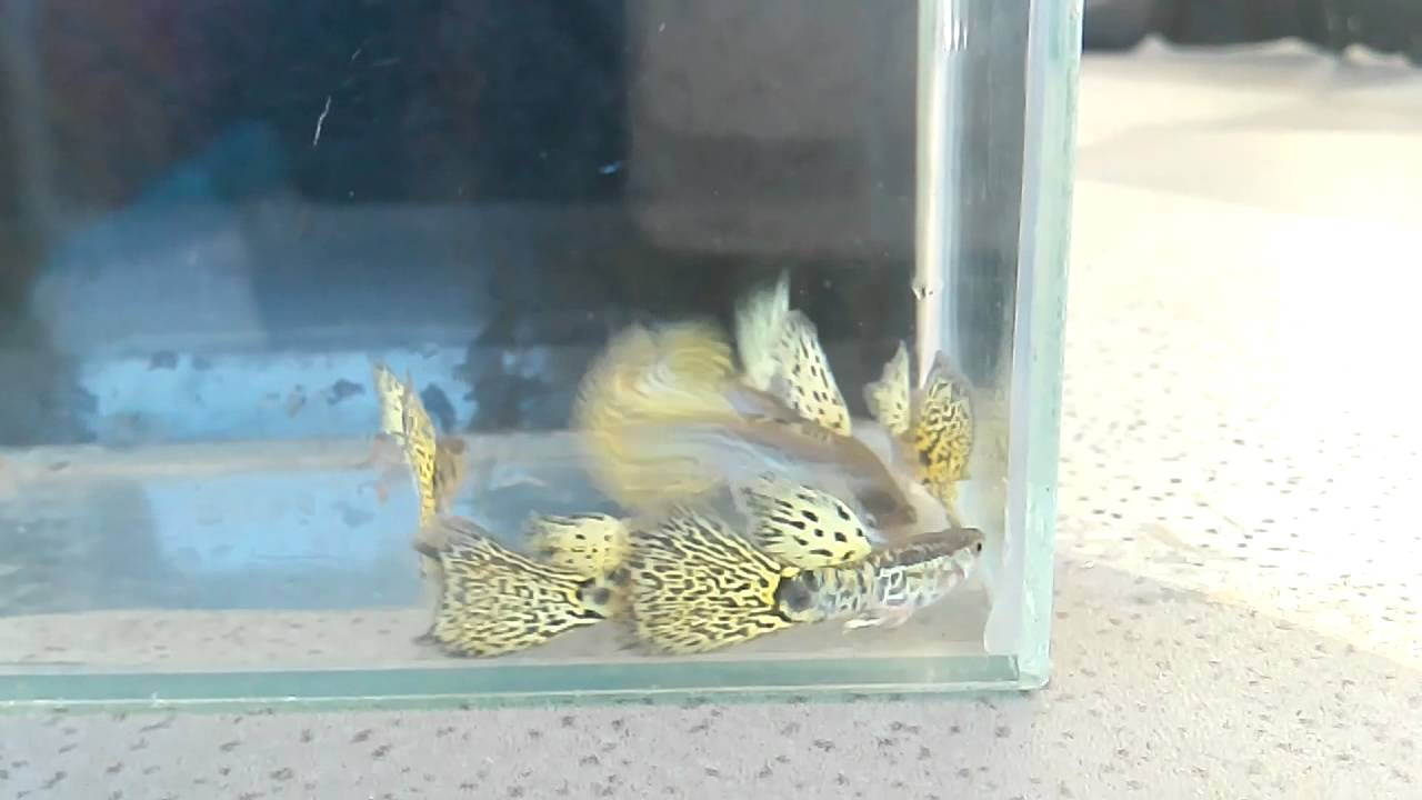 big blue guppy farm clip 7 king cobra yellow clip by micky
