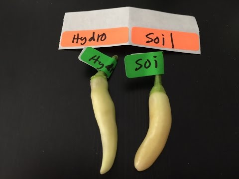 Hydroponic Vs Soil Peppers - Can You Taste The Difference?