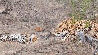 How Not to Wake Up a Female Leopard!