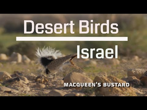 Desert Birds of Israel