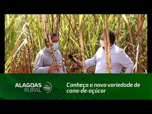 Conheça a nova variedade de cana-de-açúcar que se adapta a diversos ambientes