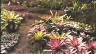 Cultivo de Bromélias - Alcantarea Imperialis - PARTE 3 de 5