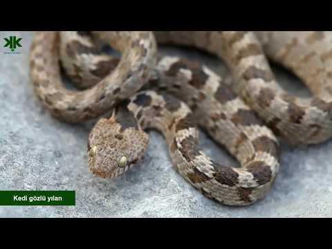 Türkiye'deki yılanlar belgeseli - Türkiye'deki zehirli ve zehirsiz yılanlar