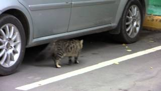 Кошка у автомобиля